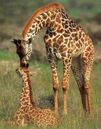 giraffes_1__1.jpg